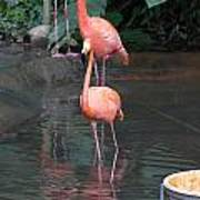 Cartoon - A Flamingo In The Small Lake In Their Exhibit In The Jurong Bird Park Poster