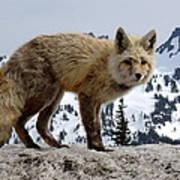Cascade Red Fox 1 Poster