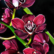 Cascading Red Orchids Poster