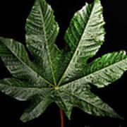 Castor Bean Leaf Poster