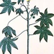 Castor Oil Plant Poster