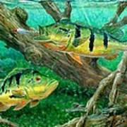 Catching Peacock Bass - Pavon Poster