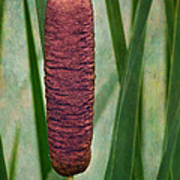Cattail With Texture Poster