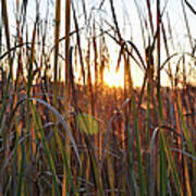Cattails And Reeds - West Virginia Poster