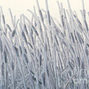 Cattails Typha Latifolia Covered In Snow Poster