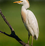 Cattle Egret On Stick Poster