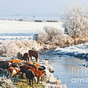 Cattle In Winter Poster