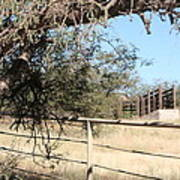 Cattle Ramp Poster