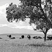 Cattle Ranch In Summer Poster