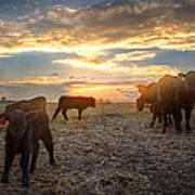 Cattle Sunset 2 Poster