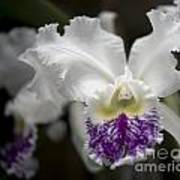 Cattleya Catherine Patterson Full Bloom Poster
