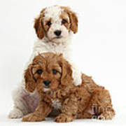 Cavapoo Puppies Poster