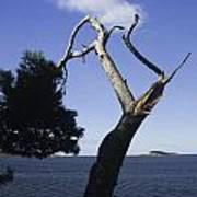 Cavtat Tree Poster