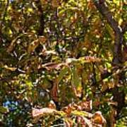 Cchestnut Tree In Autumn Poster