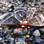 Cecropia Moth Blending In Poster