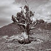 Cedar Landscape Poster