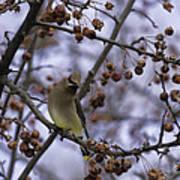 Cedar Waxwing Eating Berries 11 Poster