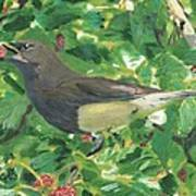 Cedar Waxwing Eating Mulberry Poster