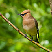 Cedar Waxwing Gathering Nesting Material Poster