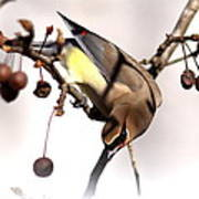 Cedar Waxwing - Img_9835-7x5 Poster