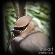 Cedar Waxwing Profile Poster