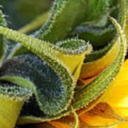 Celebration Sunflower Poster