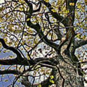 Cemetery Oak Poster