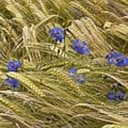 Centaurea Cyanus And Wheat Poster