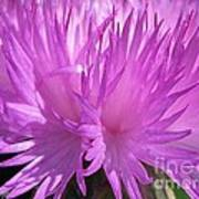Centaurea From The Sweet Sultan Mix Poster