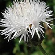 Centaurea Named The Bride Poster