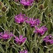 Centaurea Uniflora Ssp. Uniflora Poster