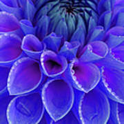 Centre Of Blue And Purple Dahlia Flower Poster