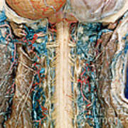 Cervical Spinal Cord, Posterior View Poster