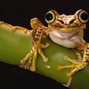 Chachi Tree Frog Ecuador Poster