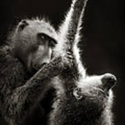 Chacma Baboons Grooming Poster