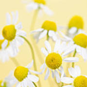 Chamomile Flowers Close Up Poster