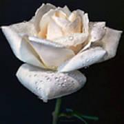 Champagne Rose Flower Macro Poster