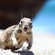 Charging Ground Squirrel Poster