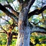 Charleston Grand Oak At Sunset Poster
