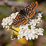 Checkerspot Butterfly On A Yarrow Blossom Poster