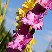 Cheerful Gladiolus Poster