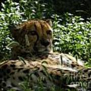 Cheetah 2 Poster