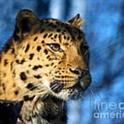 Cheetah Acinonyx Jubatus Poster