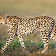 Cheetah Acinonyx Jubatus Walking Poster