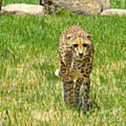 Cheetah Approaching Poster