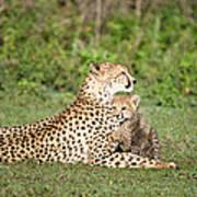 Cheetah Cub Acinonyx Jubatus Playing Poster