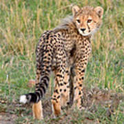 Cheetah Cub Looking Your Way Poster