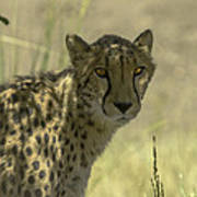 Cheetah Gaze Poster
