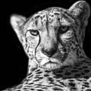 Cheetah In Black And White Poster