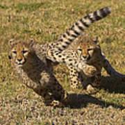 Cheetah Juveniles Playing Poster